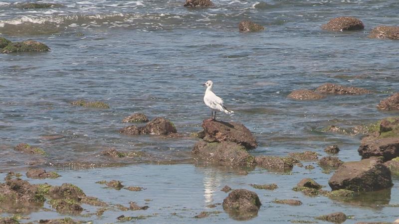 Fotografía del 20 de enero de 2017 de un pájaro en la playa de La Balconada, en el balneario de La Paloma (Uruguay). EFE