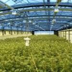 plantacion-marihuana