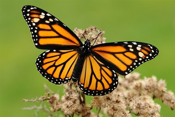 ¡Increíble!… Mujer realizó trasplante de alas a una mariposa con pega y tijeras