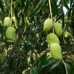 arbol-mango
